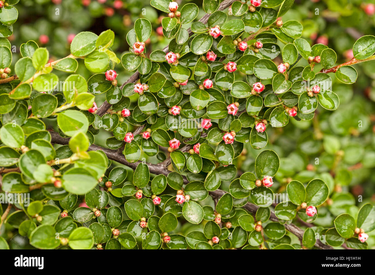 Ornamental shrub with small flowers pink color note shallow depth ornamental shrub with small flowers pink color note shallow depth of field mightylinksfo
