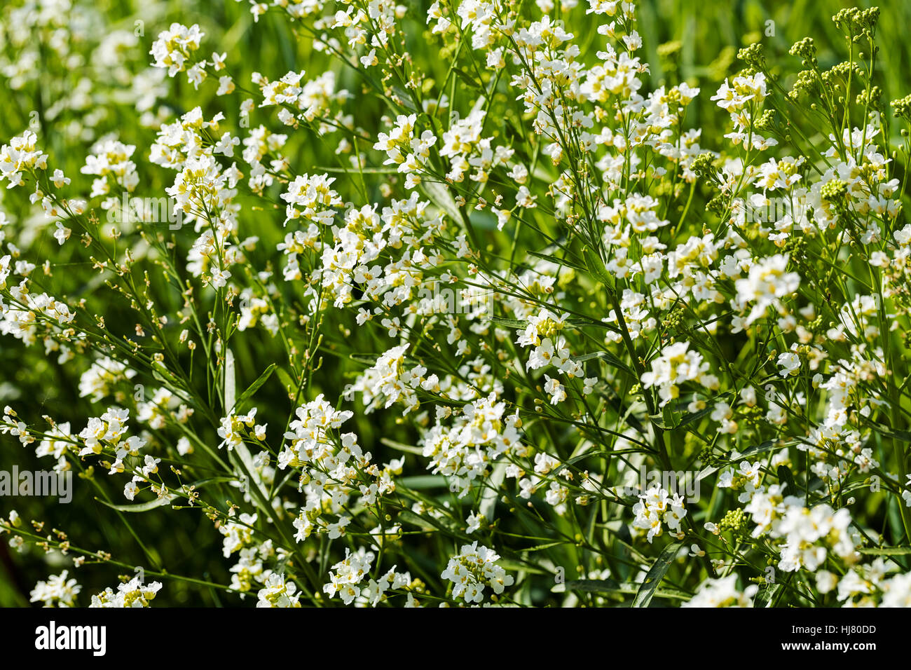 Kinds of small white flowers in the meadow note shallow depth of kinds of small white flowers in the meadow note shallow depth of field mightylinksfo Choice Image