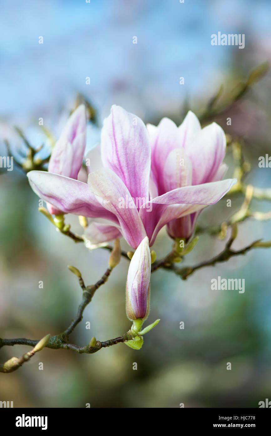 Close Up Image Of The Beautiful Spring Flowering Magnolia Treeshrub