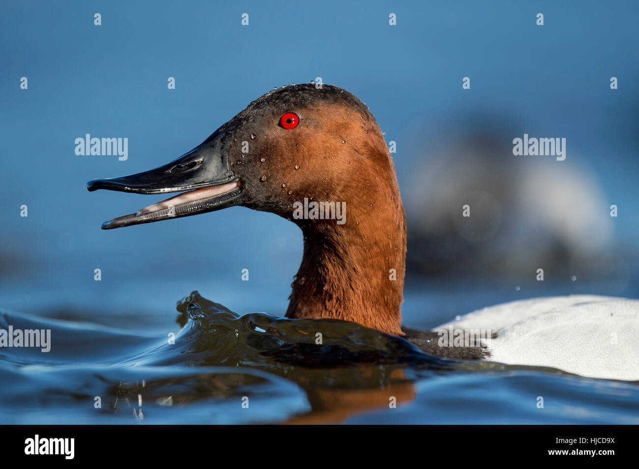 A male Canvasback duck opens its beak as it swims through the blue water. - Stock Image