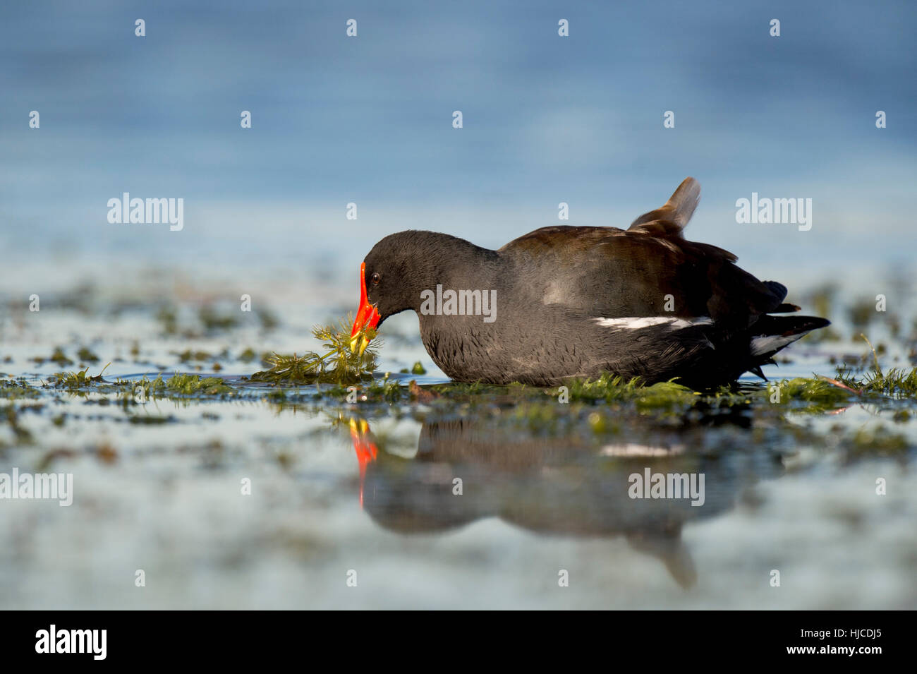 A Common Gallinule feeds on water vegetation in the shallow water with a reflection of the bird. - Stock Image
