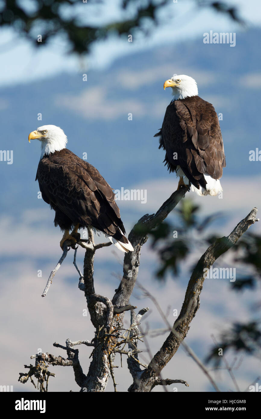 Bald Eagles sitting in a tree,(Haliaeetus leucocephalus) Oregon, Ashland, Emigrant Lake, Taken 06.14 Stock Photo