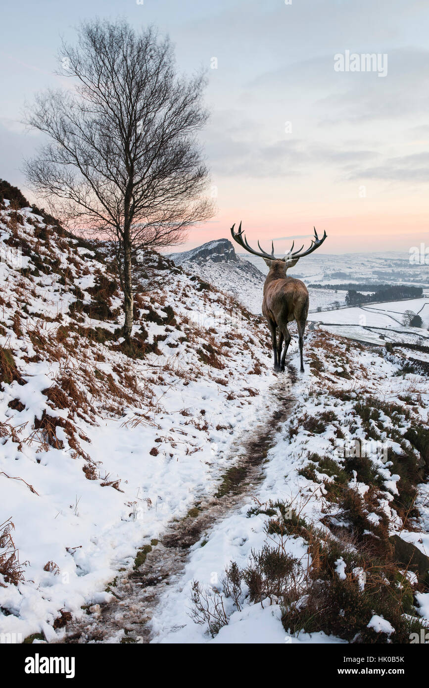 Beautiful red deer stag in snow covered mountain range Winter landscape - Stock Image