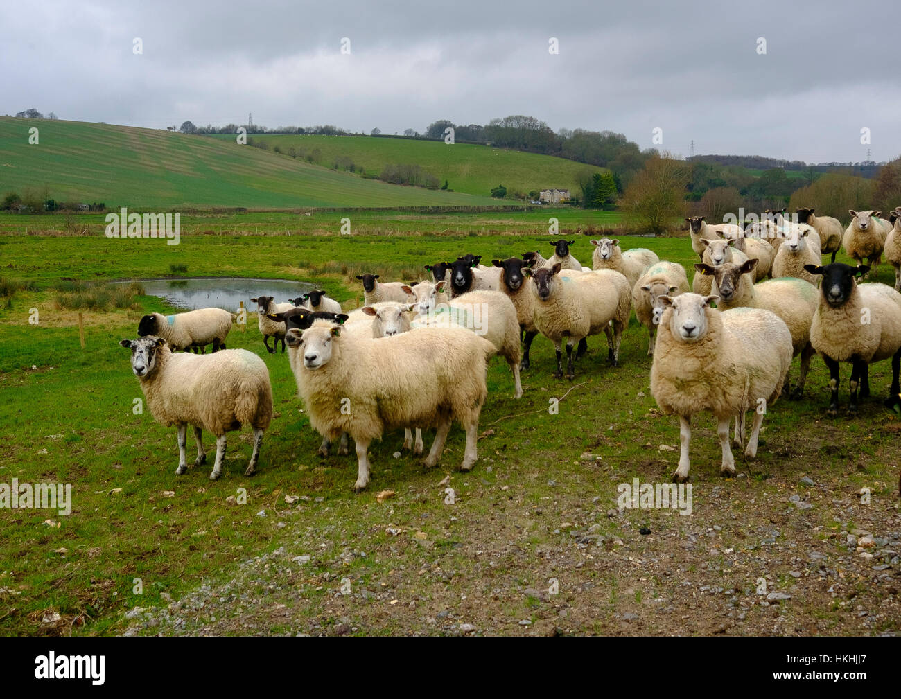 Flock of sheep in a field at Stratford Bridge just outside Salisbury - Stock Image