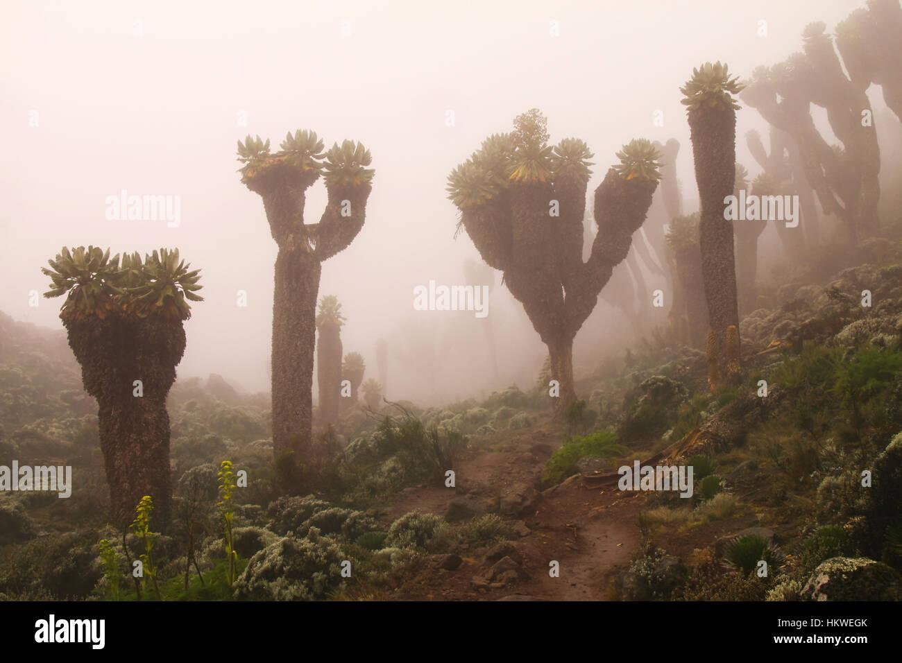 dendrosenecio-kilimanjari-giant-groundse