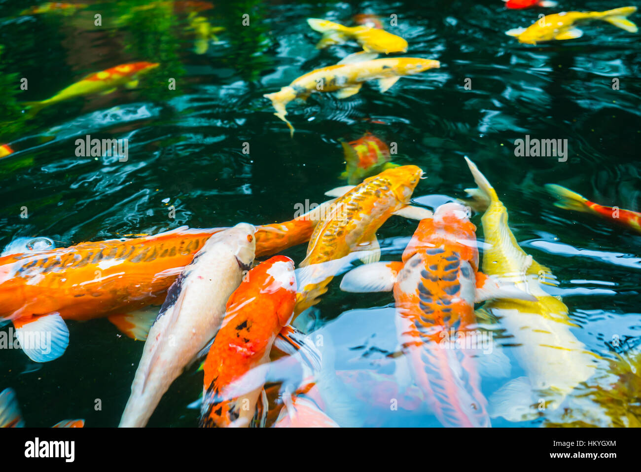 Colorful Koi fish swimming in water Stock Photo: 132757036 - Alamy