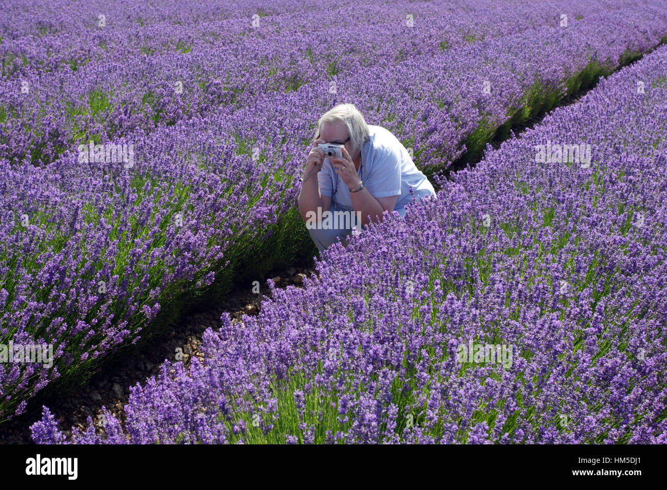 A woman photographs lavender fields at Snowshill, near Broadway, in the English Cotswolds. Stock Photo