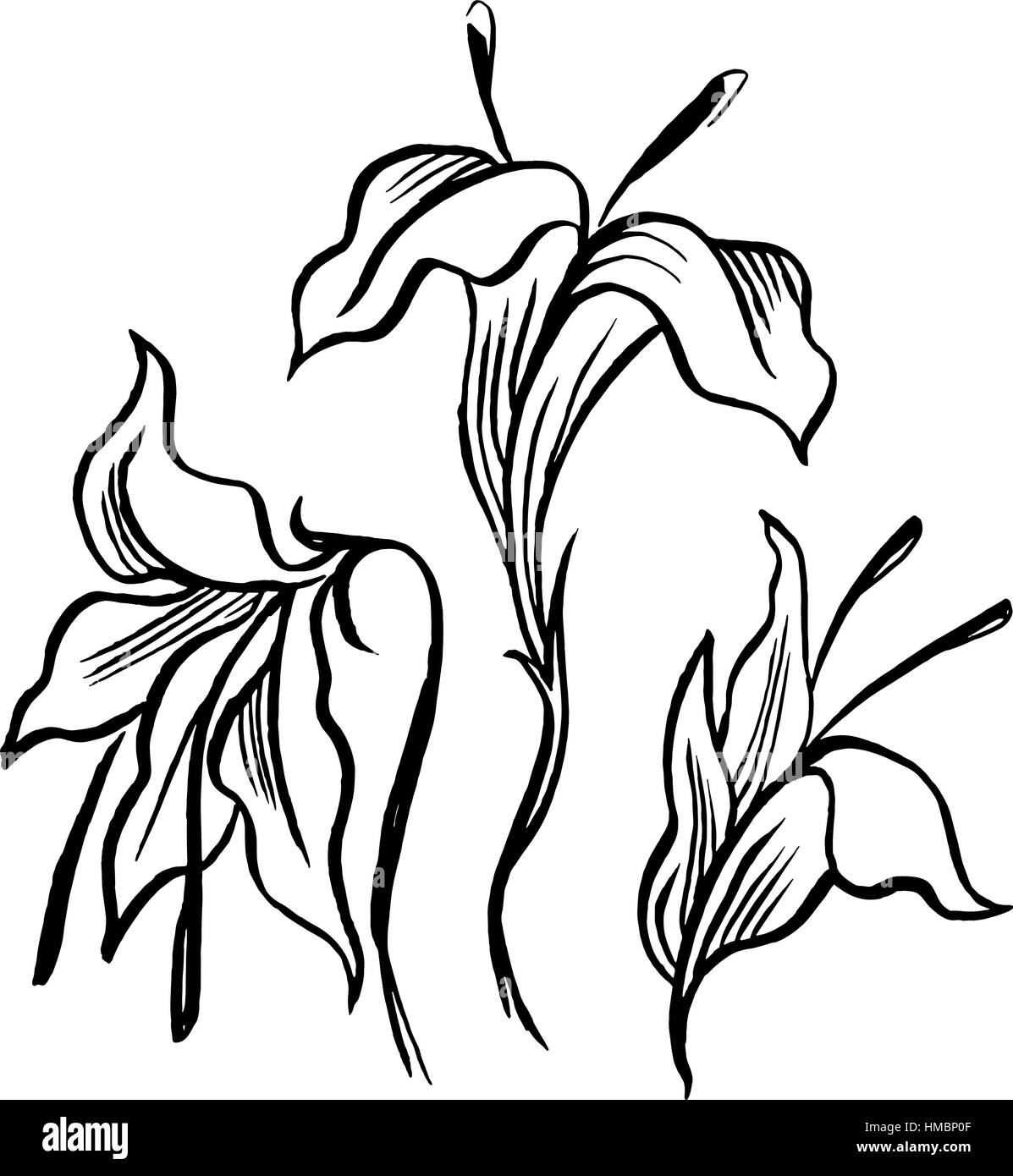 Vector Sketch Black Contour Of Lily Flowers Stock Vector Art