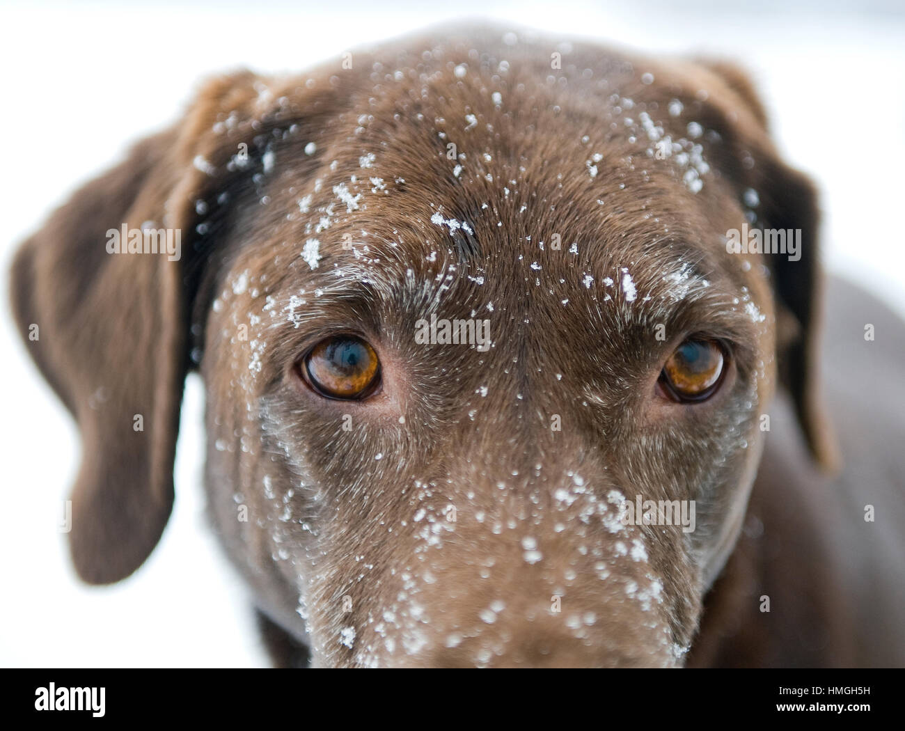 Beautiful Chocolate Lab Dog Close Up Of Intense Eyes With Snowy Face