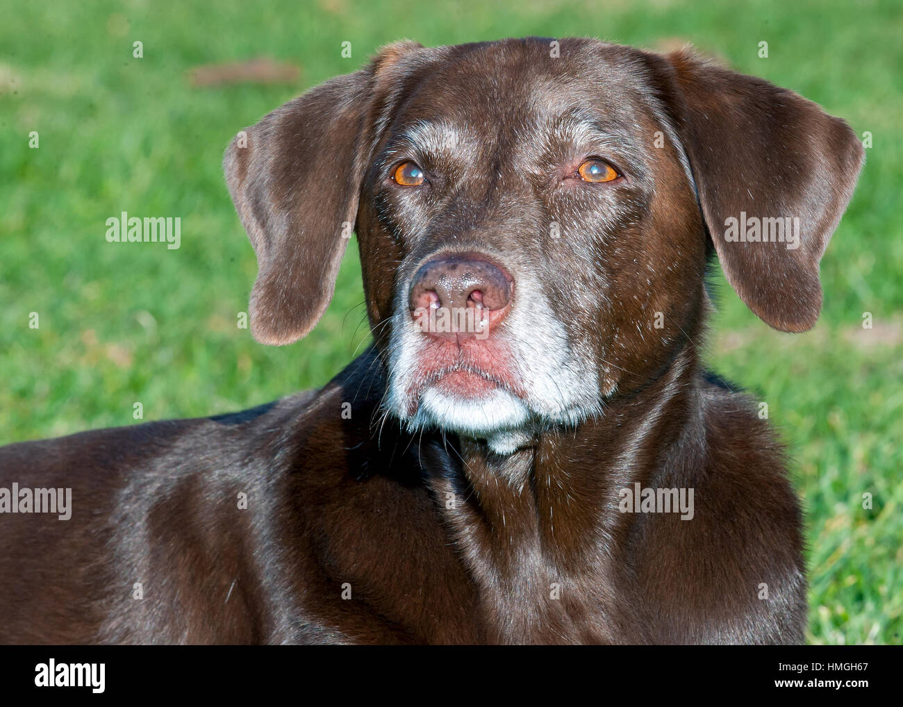 Beautiful Shiny Senior Chocolate Lab Dog Headshot Portrait Looking