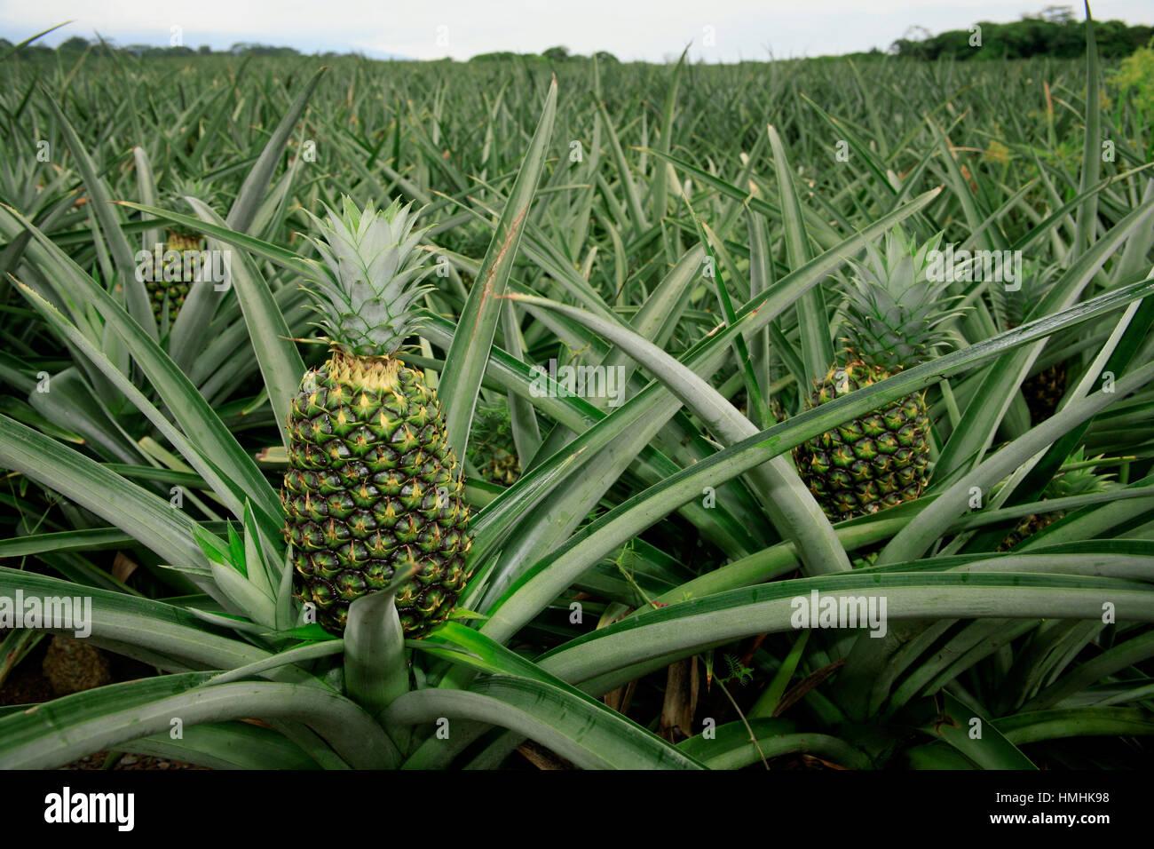 Organic Pineaple Plantation (Ananas comosus). Sarapiquí, Caribbean lowlands, Costa Rica - Stock Image