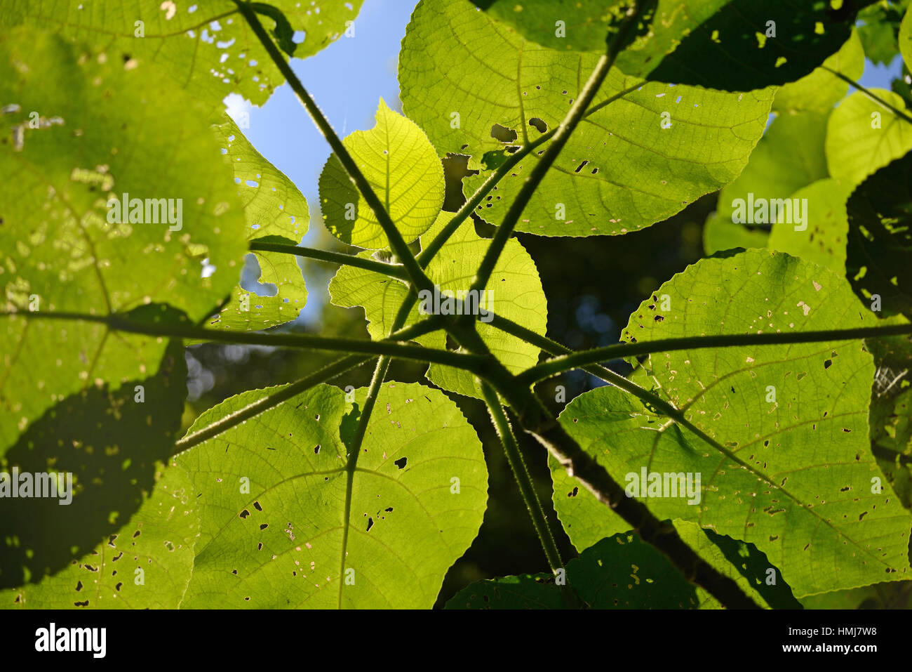 Backlighting on leaves of the fearsome giant stinging tree, Dendrocnide excelsa, also called Australian nettle tree, Stock Photo