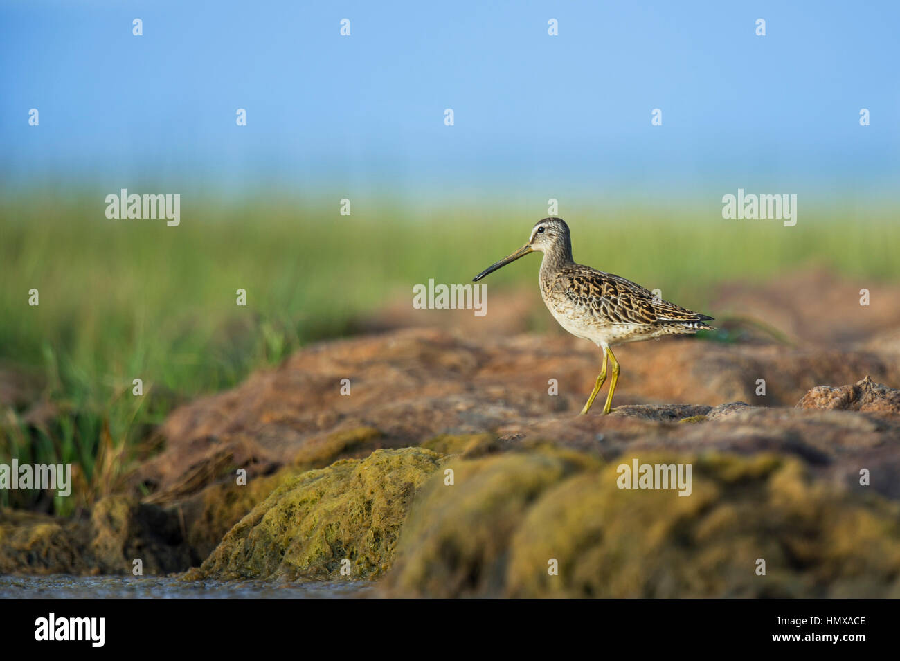 A Short-billed Dowitcher stands atop a mass of dried up marsh as it looks out over the area on a sunny summer morning. - Stock Image