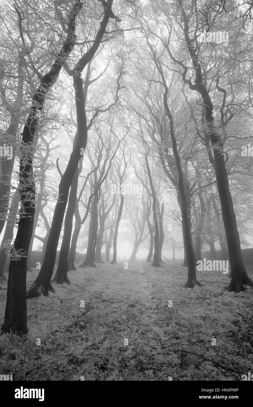 Spooky silhouetted trees above Eyam in the peak district national park - Stock Image