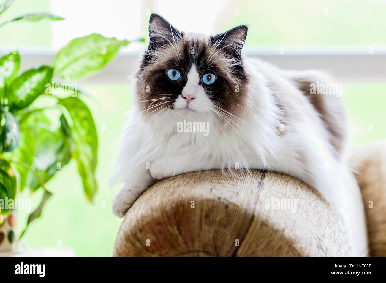 a-large-ragdoll-cat-relaxing-indoors-on-