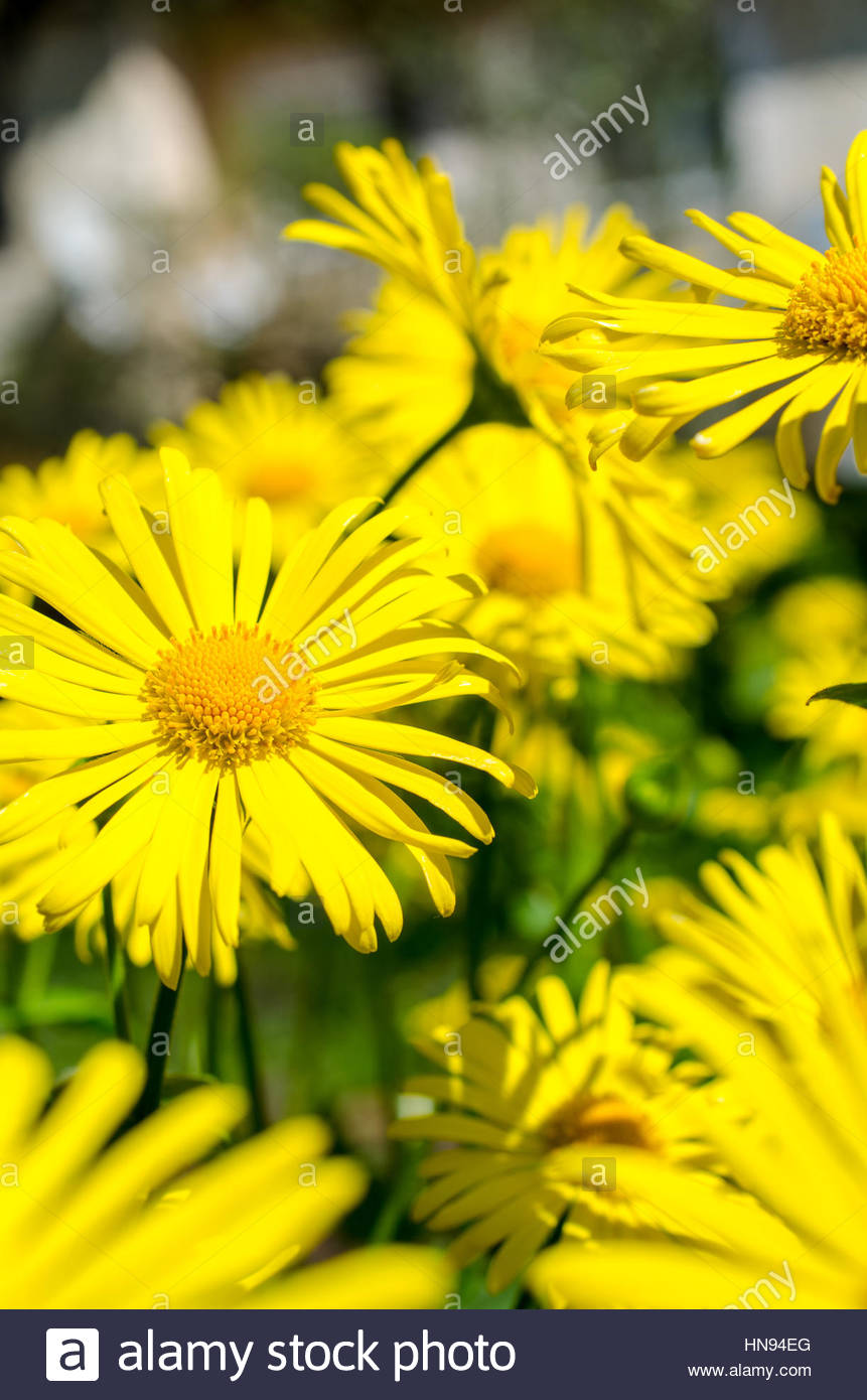 beautiful bright yellow flowers close up - Stock Image