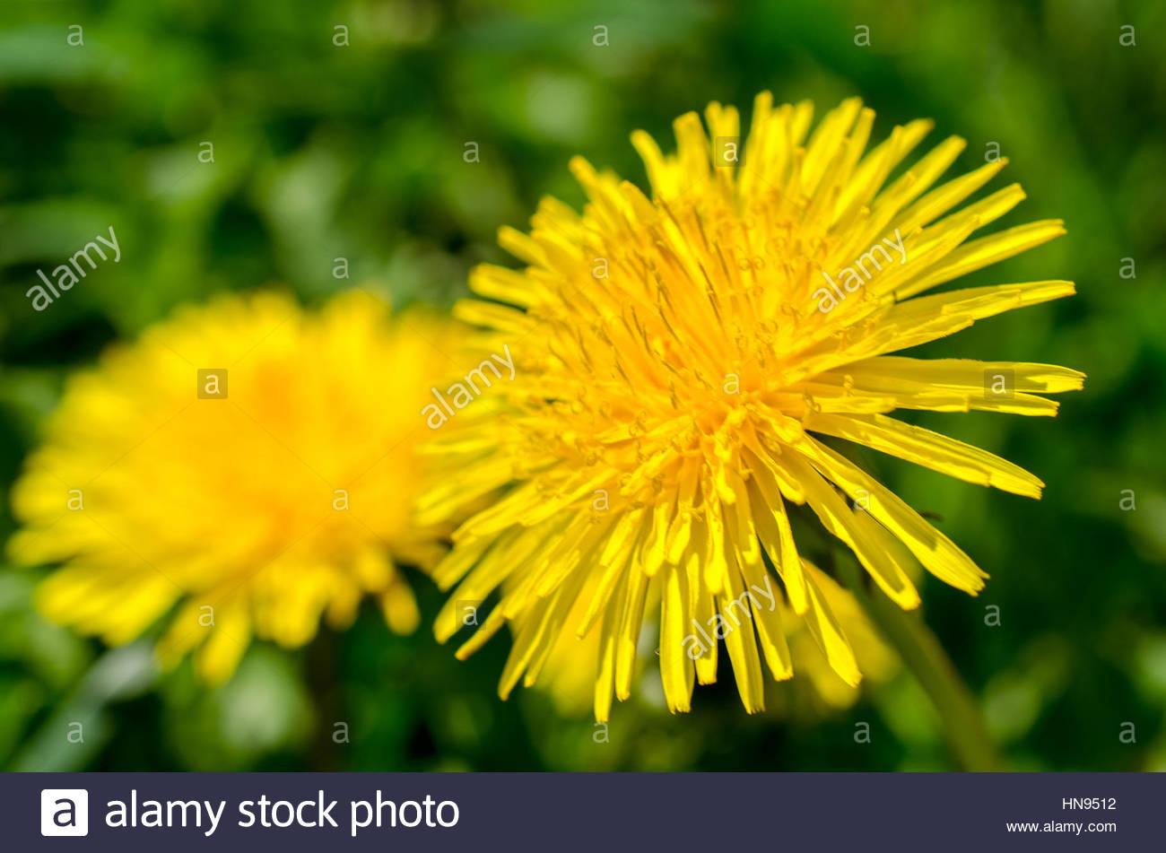 bright yellow spring flowers dandelions - Stock Image