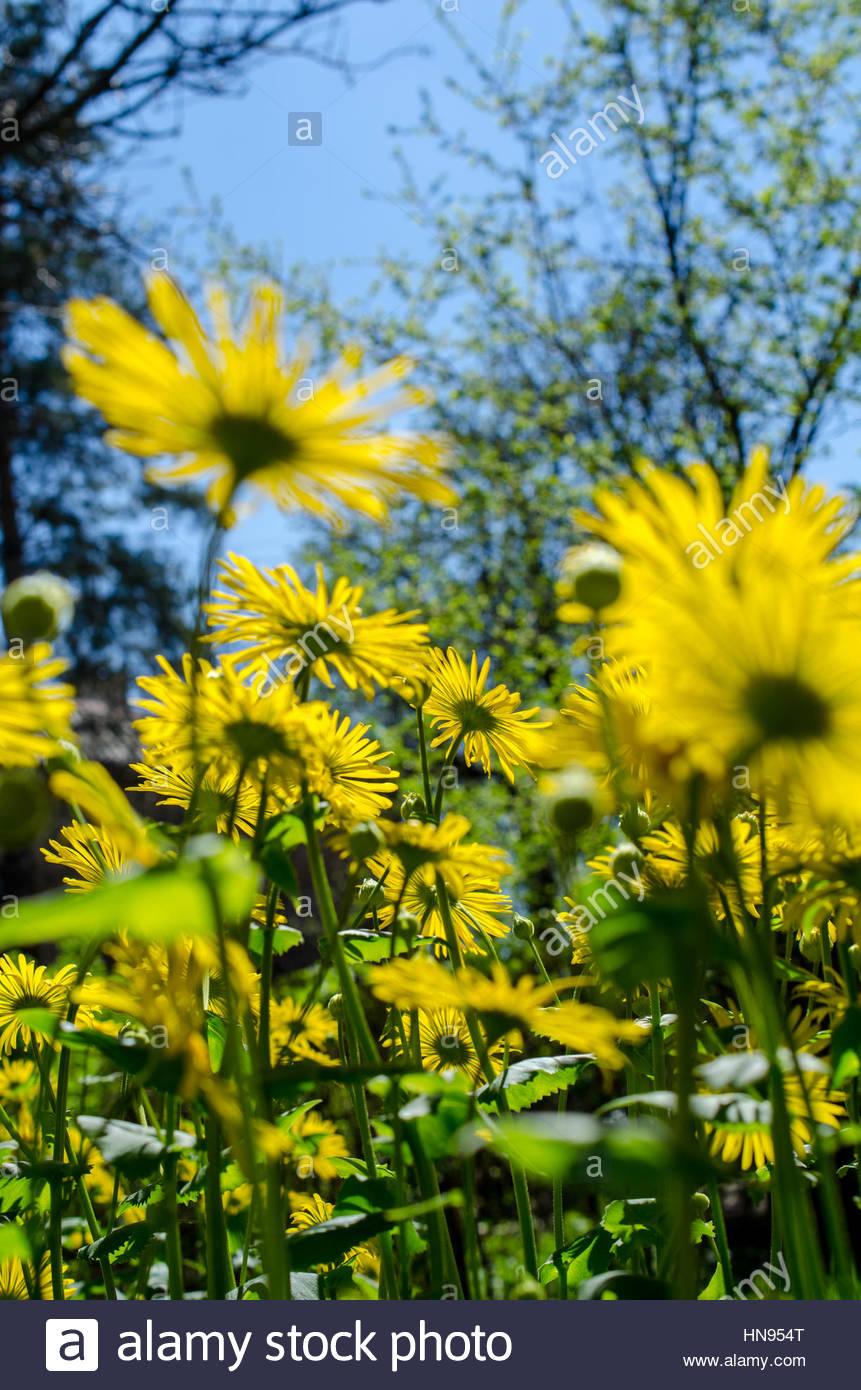 beautiful bright yellow flowers close up - Stock Image