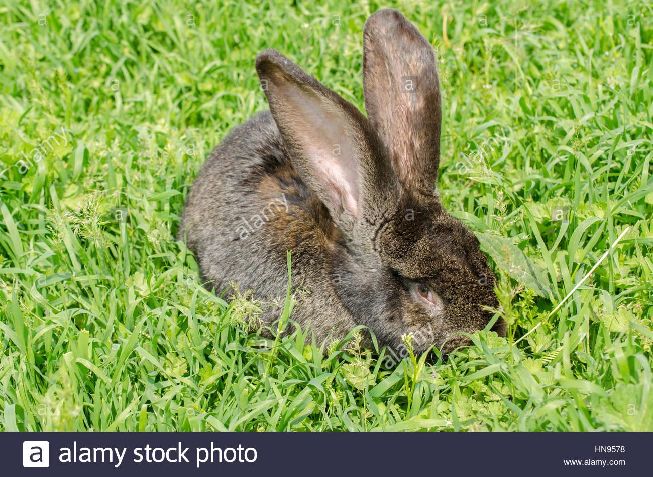 Black rabbit on green grass in spring - Stock Image