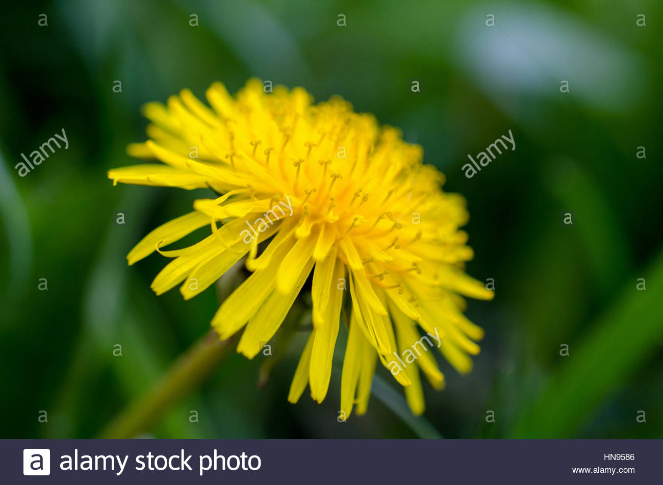 bright yellow spring flowers dandelions - Stock Image