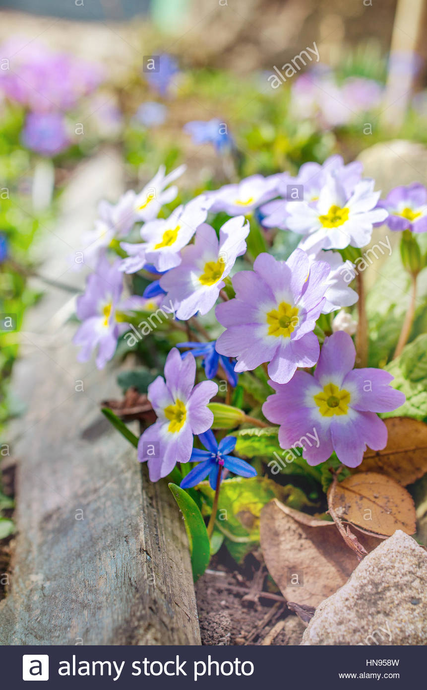 Blooming purple primrose in early spring - Stock Image