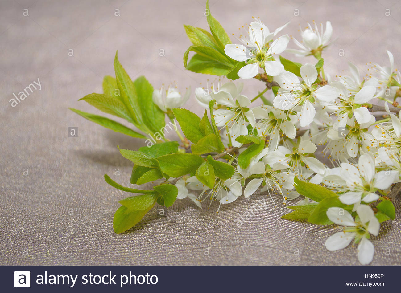 blooming tree branch Stock Photo