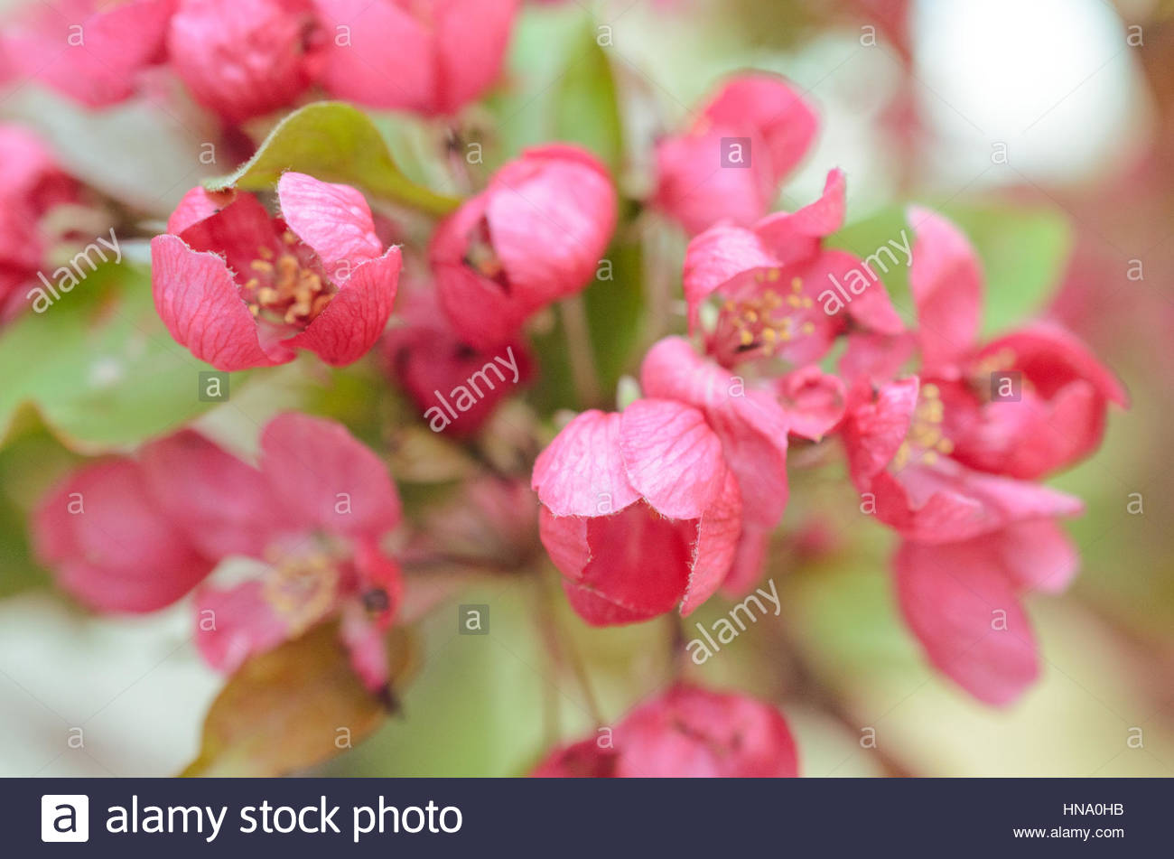 pink flowers of apple - Stock Image