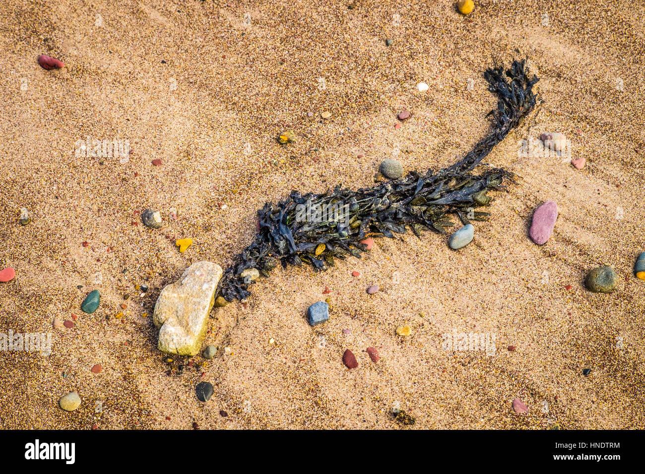 Seaweed on rocks - Stock Image