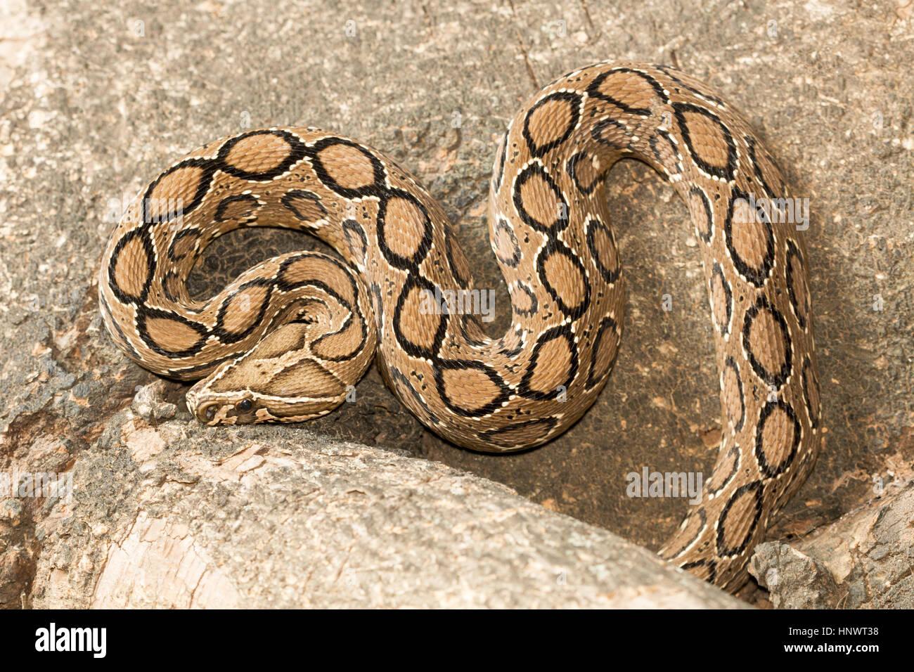 Russell's viper, Daboia russelii, Bangalore, Karnataka. Monotypicgenus ofvenomousOld Worldvipers. The species Stock Photo