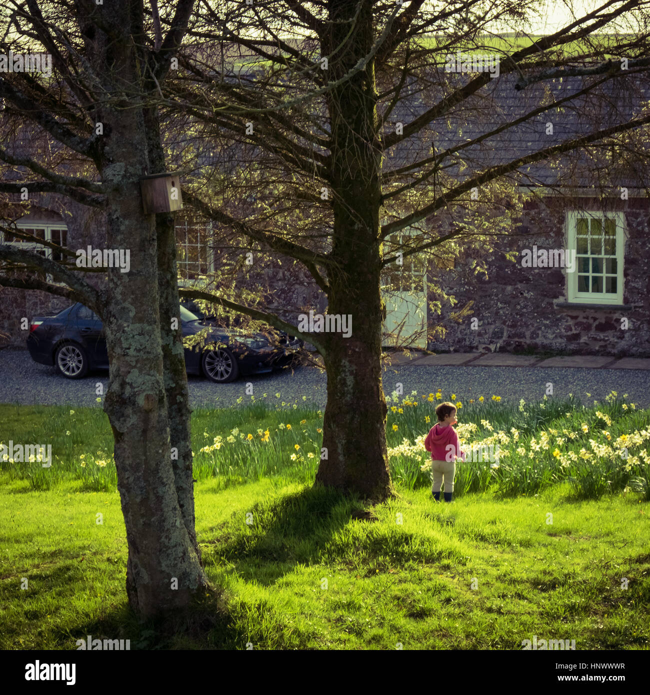 Lost in the springtime daffodils - Stock Image