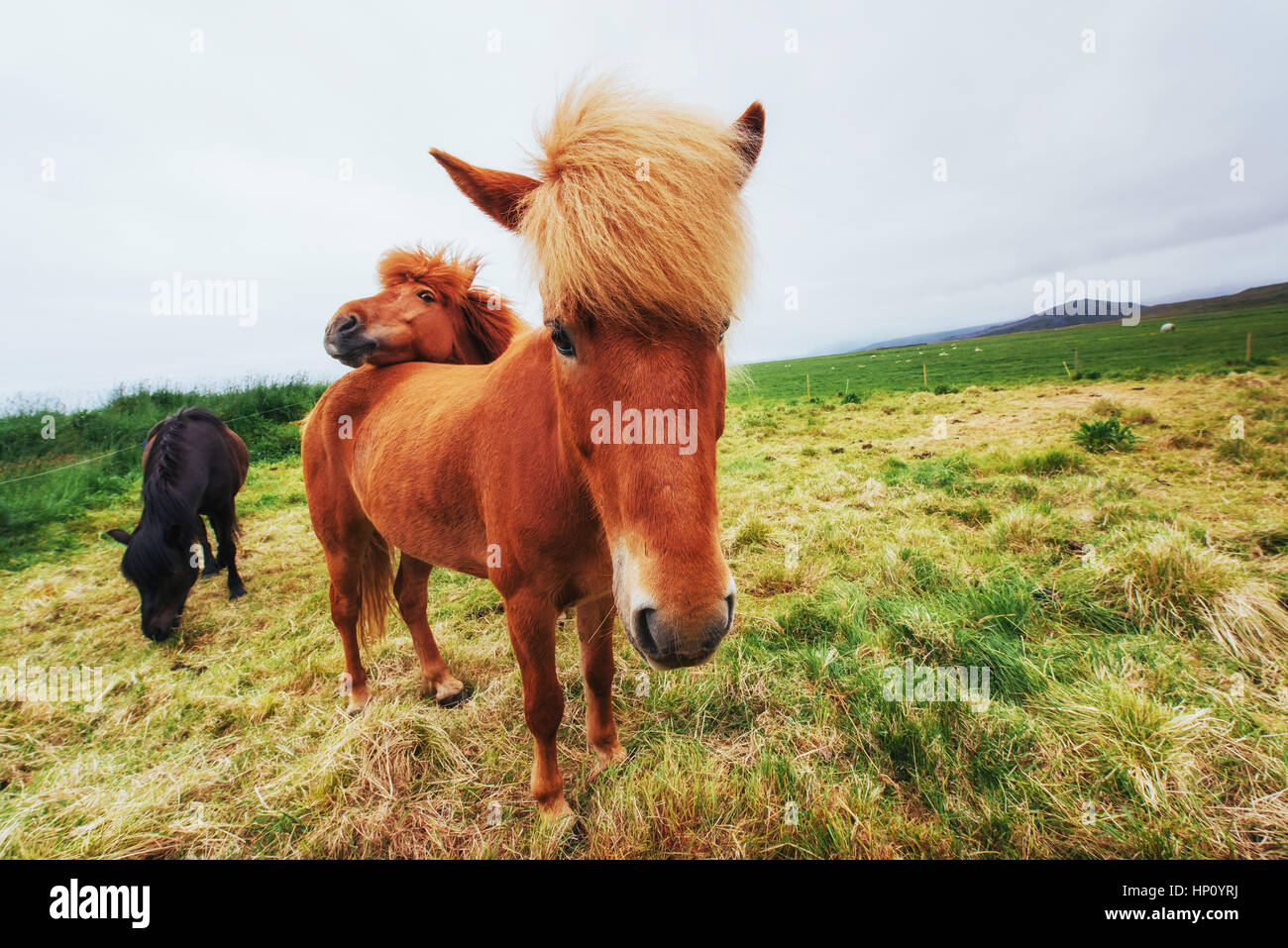 Icelandic horses in the pasture overlooking the mountains - Stock Image
