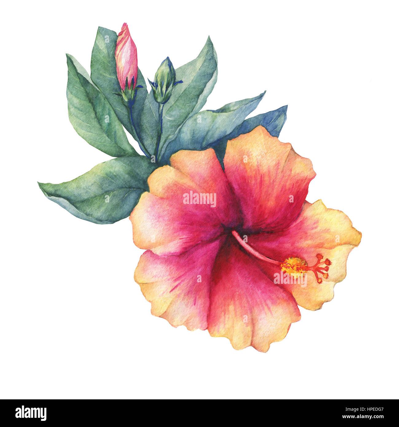 Peach pink hibiscus flower hand drawn watercolor painting on white peach pink hibiscus flower hand drawn watercolor painting on white background izmirmasajfo