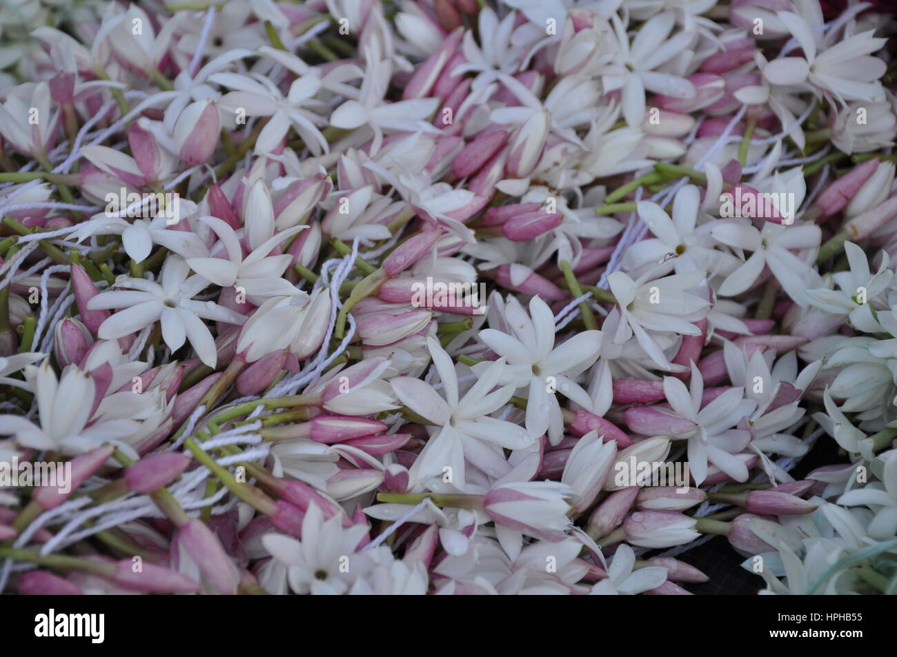 White And Pink Jasmine Flowers With Water Drops Stock Photo