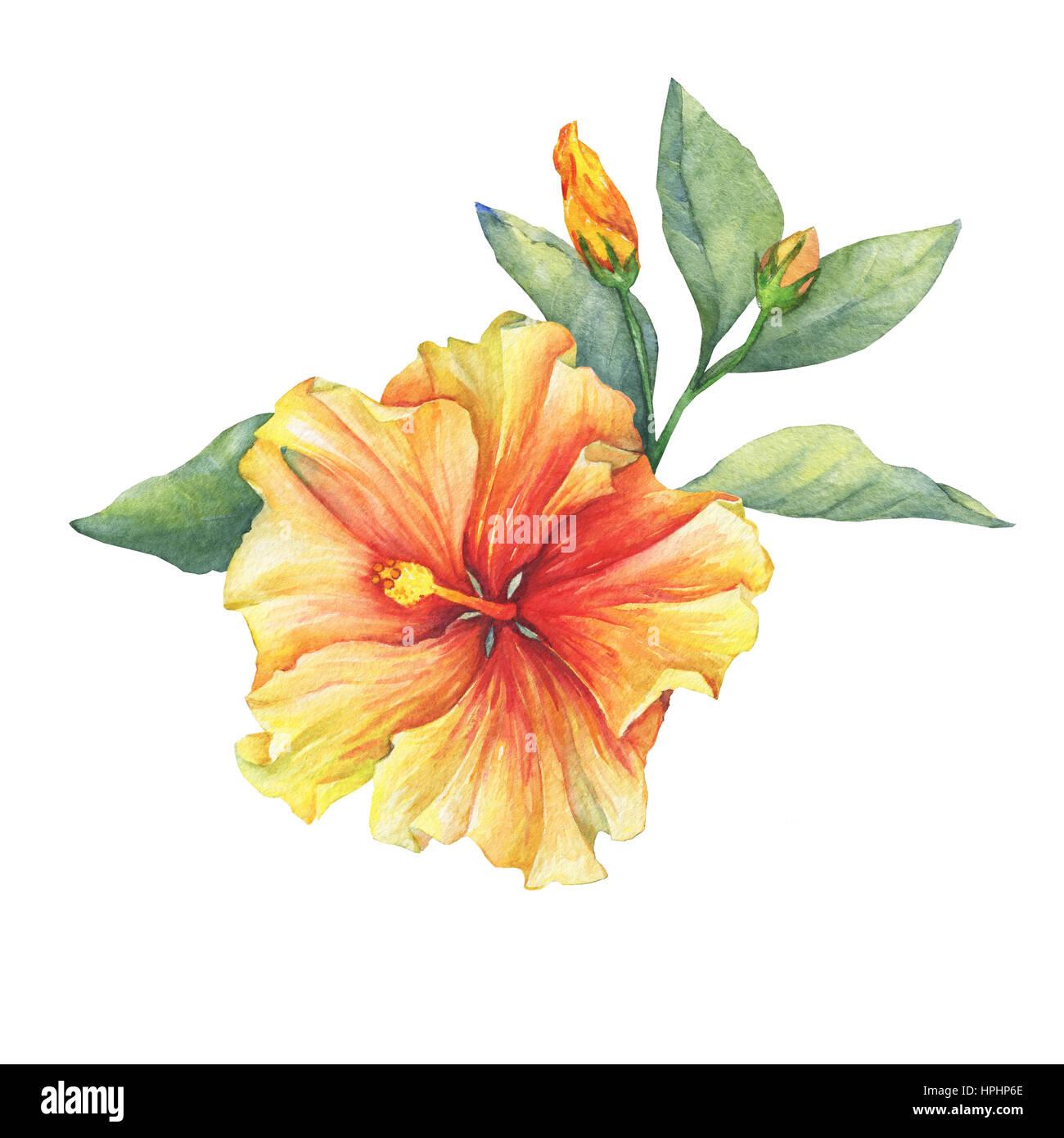 Yellow red hibiscus flower hand drawn watercolor painting on white yellow red hibiscus flower hand drawn watercolor painting on white background izmirmasajfo