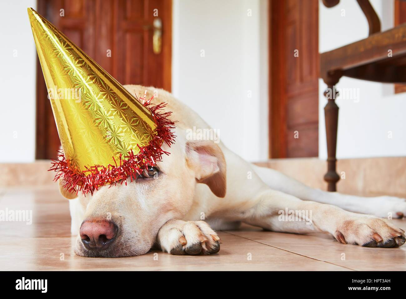 Cute labrador retriever is wearing party hat - Stock Image