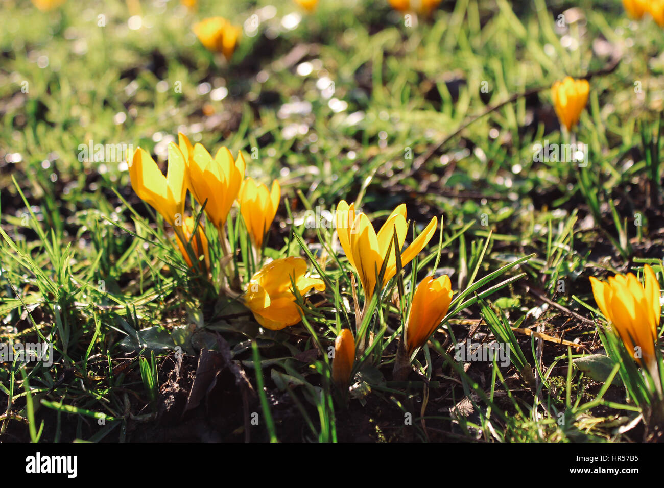 Green Grass And One Of The First Spring Flowers Yellow Crocus In A