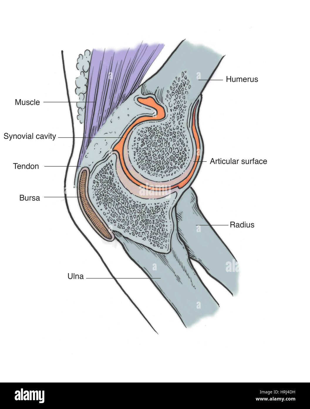 Illustration of Right Elbow Joint Stock Photo: 135008317 - Alamy
