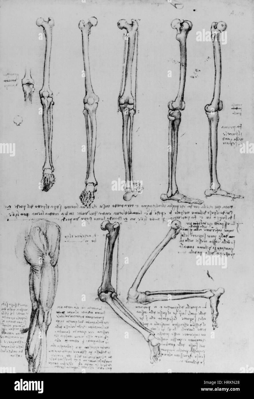 Da Vinci Anatomical Drawings Stock Photo: 135043280 - Alamy