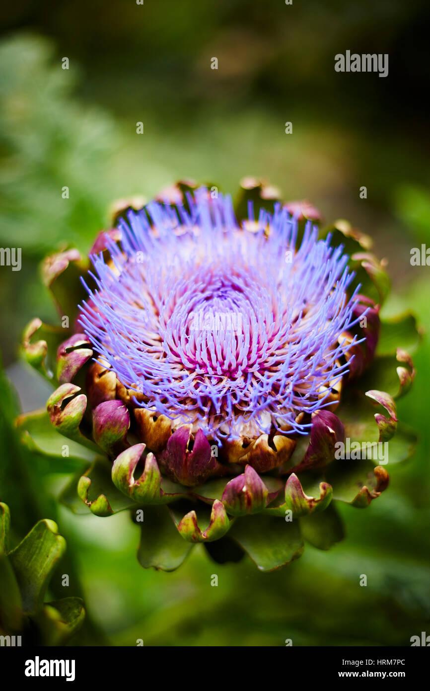 Flowering purple artichoke - Stock Image