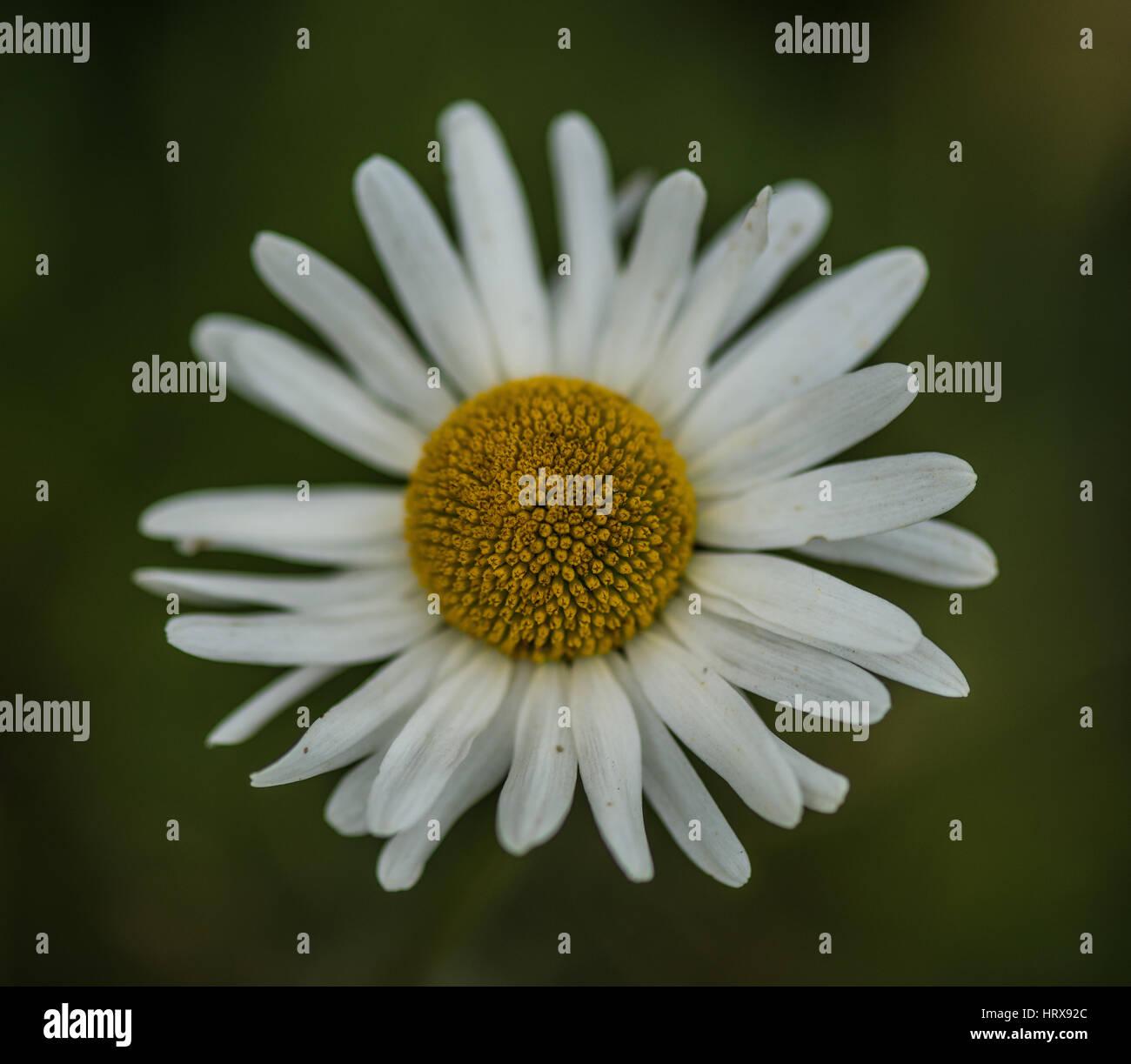 Ox-Eye Daisy - Stock Image