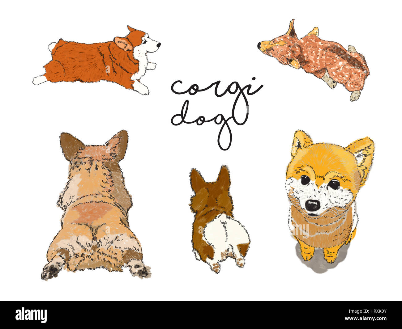 Corgi and Shiba dog illustration crated by without reference. - Stock Image