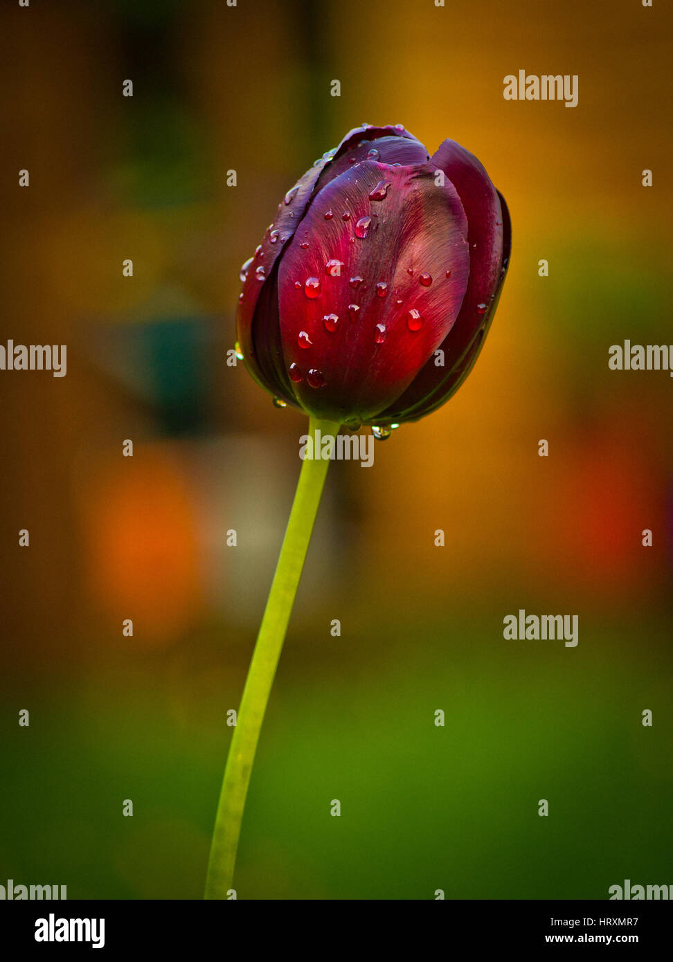 A single red Tulip - Stock Image