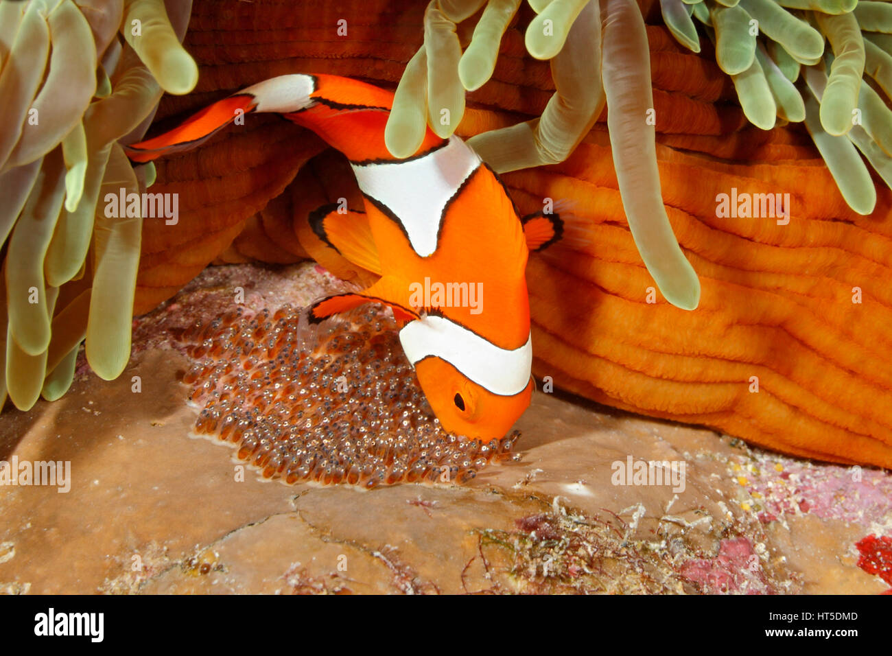 clown-anemonefish-amphiprion-percula-tending-eggs-laid-at-the-base-HT5DMD.jpg