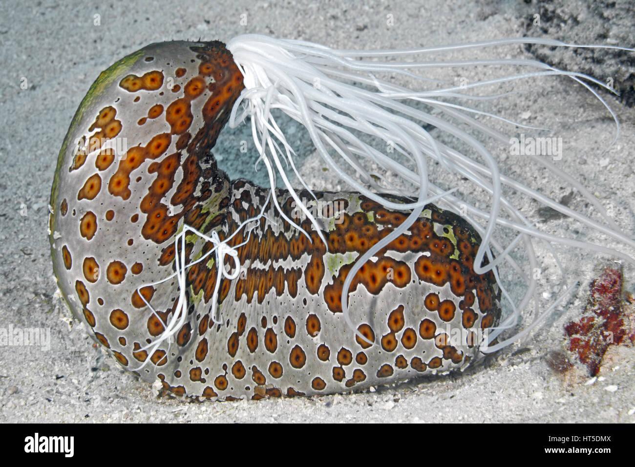 leopard-sea-cucumber-bohadschia-argus-extruding-sticky-white-cuvierian-HT5DMX.jpg