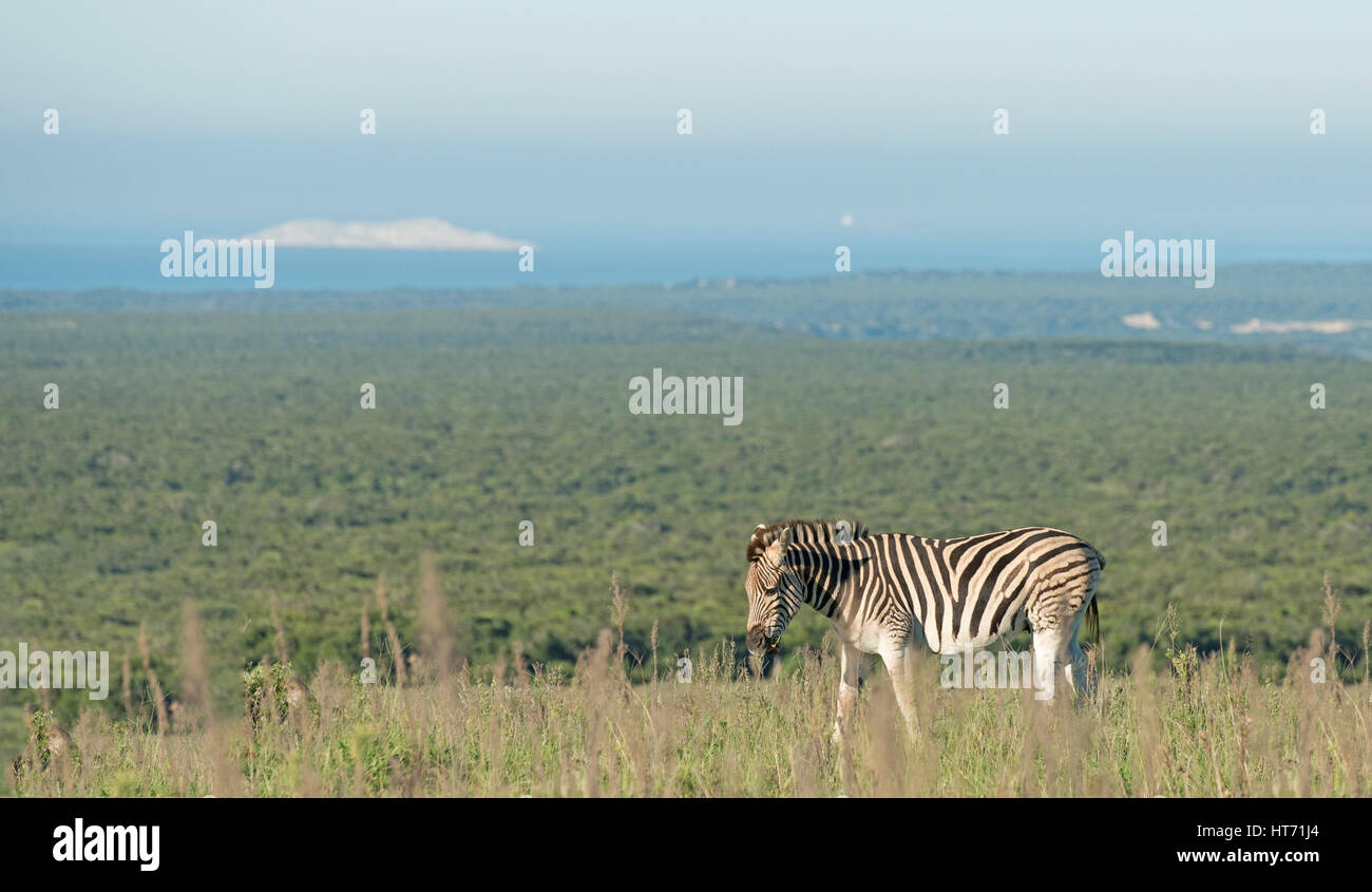 Zebra in the plains Stock Photo
