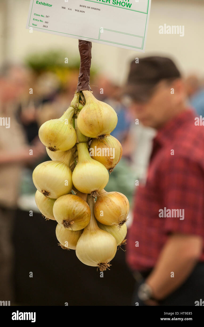 Prize onions hanging up on display at the Shrewsbury Flower Show. Stock Photo