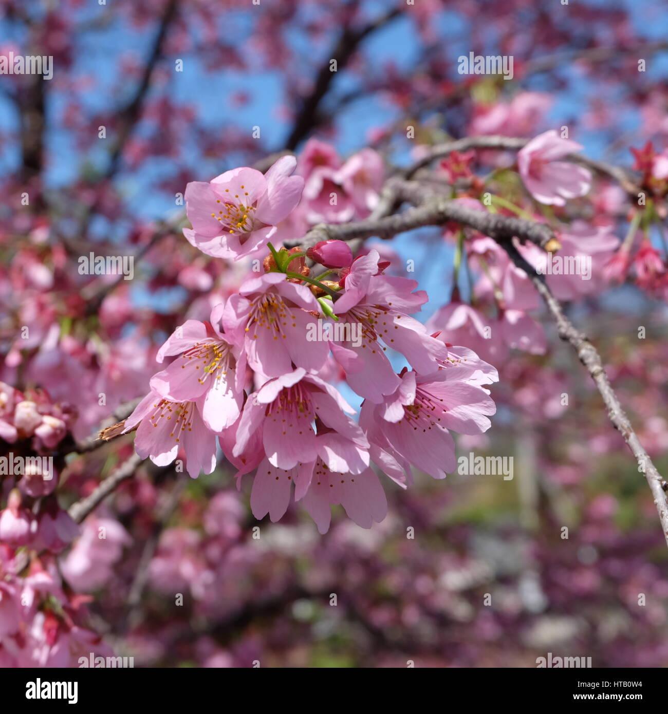 Beautiful pink cherry blossom sakura flower blooming in spring beautiful pink cherry blossom sakura flower blooming in spring around march or april in japan mightylinksfo