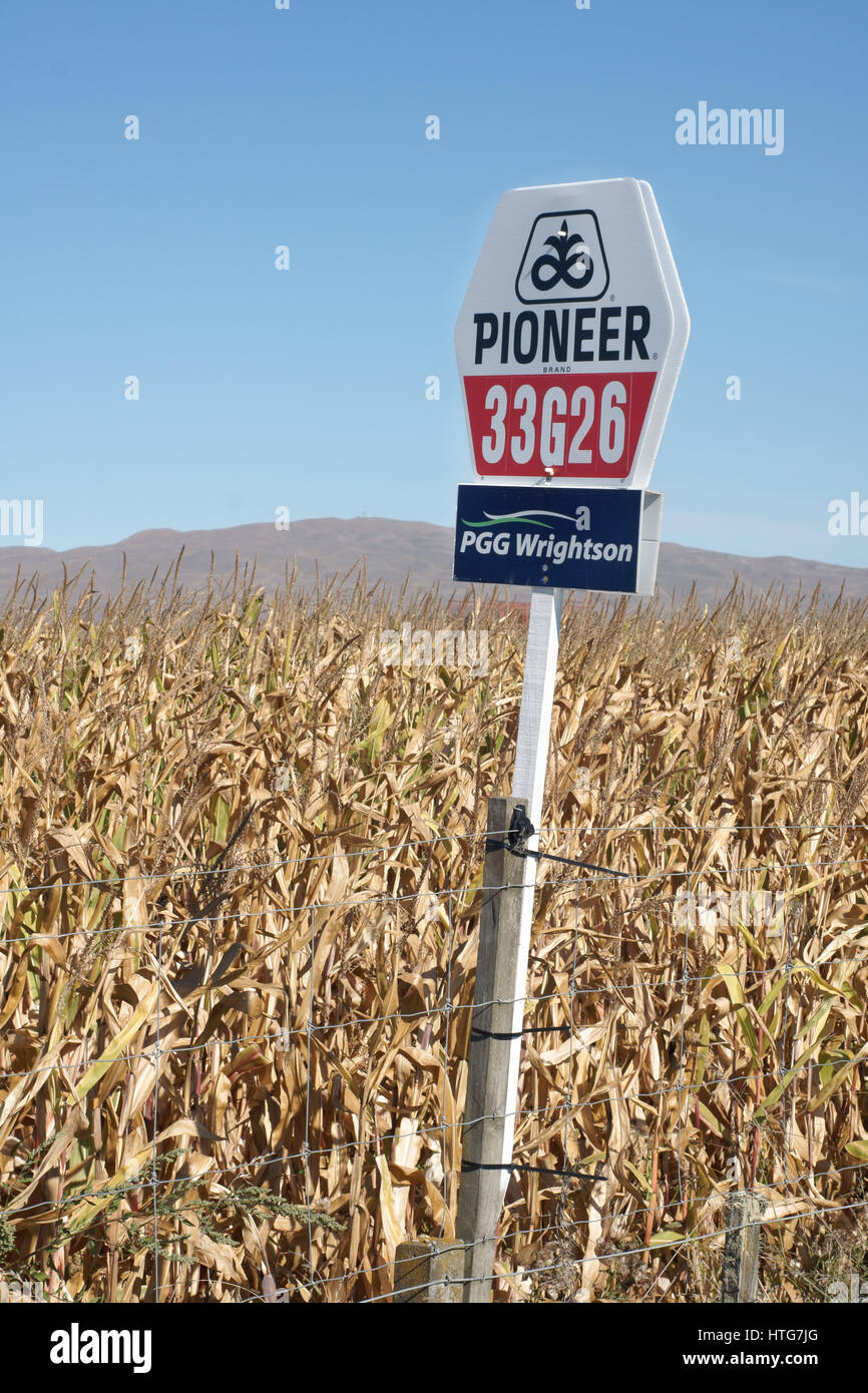 Hybrid maize plant Pioneer 33G26 a genetically modified glyphosate resistantant maize developed by Pioneer Hi-Brd Stock Photo