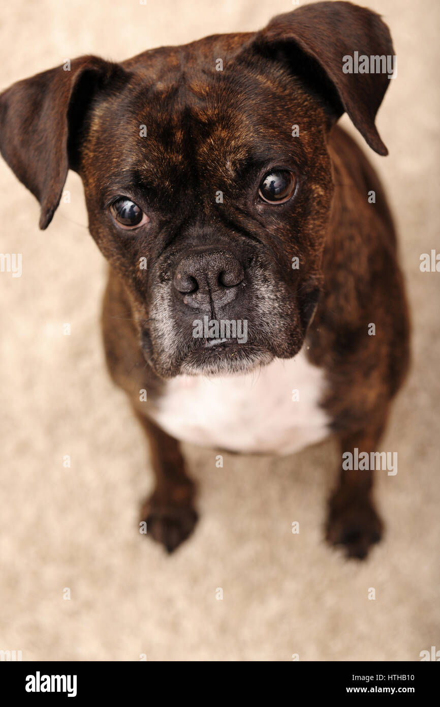 Most Inspiring Cute Canine Brown Adorable Dog - adorable-animal-background-big-black-boxer-breed-brown-canine-close-HTHB10  2018_80393  .jpg