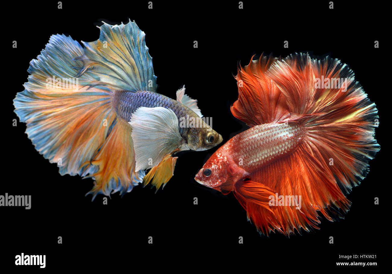 Golden red Colorful  waver of Betta Saimese fighting fish  beauty and freedom in black background photo with studio - Stock Image